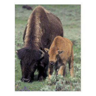 NA, USA, Wyoming, Yellowstone National Park. Postcard