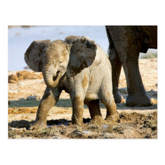 Namibia, Africa: Baby African Elephant Postcard
