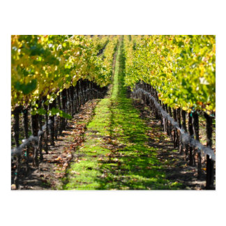 Napa Valley California Grape Vineyard Postcard