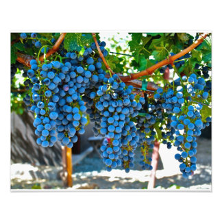 Napa Valley Winery Grapes Photograph