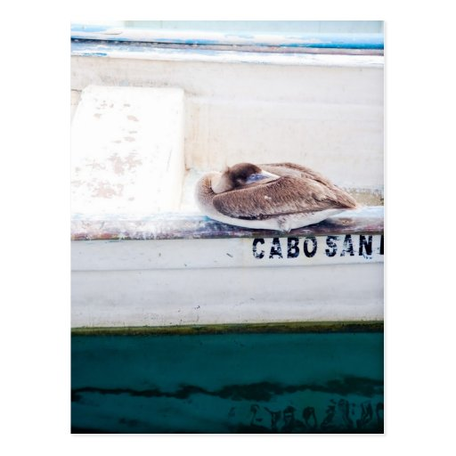 Napping Pelican Postcard