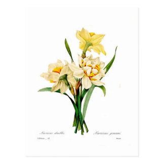 Narcissus gouani postcard