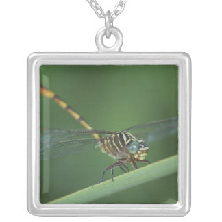 Narrow-striped Forceptail, Aphylla protracta, Square Pendant Necklace