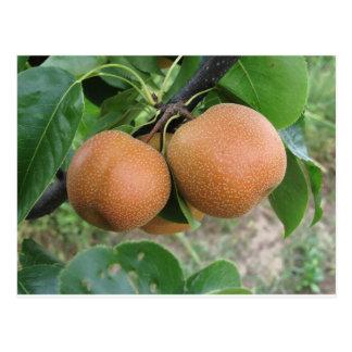 Nashi pears hanging on the tree postcard