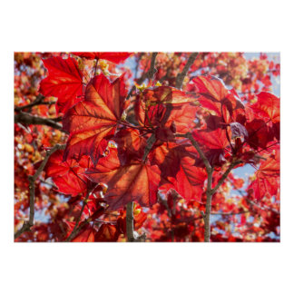 Natural Red Maple Tree Poster