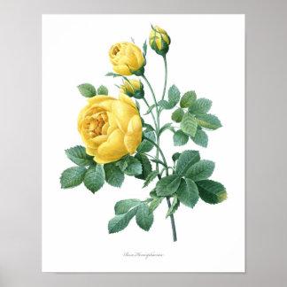 Nature, botanical print, flower art poster of Rose