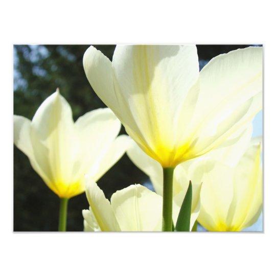 Nature Floral Photography Tulip Flowers art prints Photographic Print