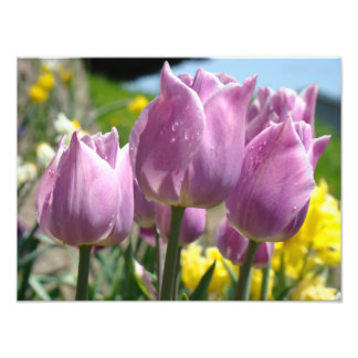 Nature Photography Fine Art prints Purple Tulips Photo Art