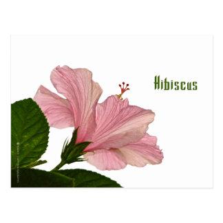 Nature Photography Pink Hibiscus Closeup Photo Postcard