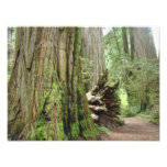 Nature Photography Redwood Trees Forest