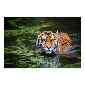 Nature Wildlife Bengal Tiger In Water Photography Poster