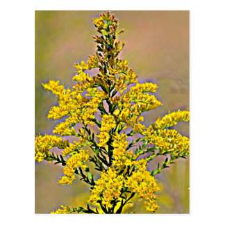 Nebraska Goldenrod Postcard