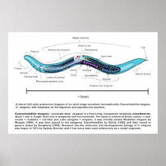 Nematode Roundworm Caenorhabditis Elegans Diagram Posters