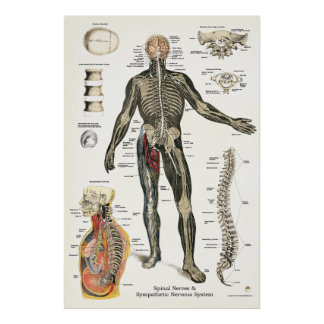 Nervous System Spinal Nerves Chiropractic 24 X 36 Poster