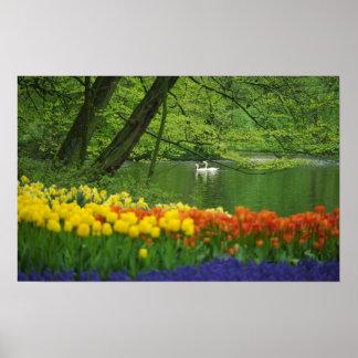 Netherlands, Lisse. White swans on pond amid Poster