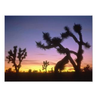 NEVADA. USA. Joshua trees Yucca brevifolia) Art Photo