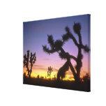 NEVADA. USA. Joshua trees Yucca brevifolia) Canvas Print
