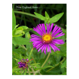 New England Aster Symphotrichum Postcard