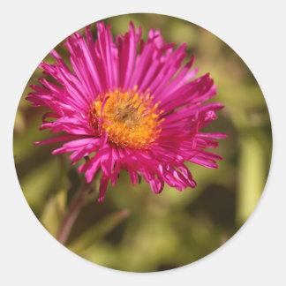 New England aster (Symphyotrichum novae angliae) Classic Round Sticker