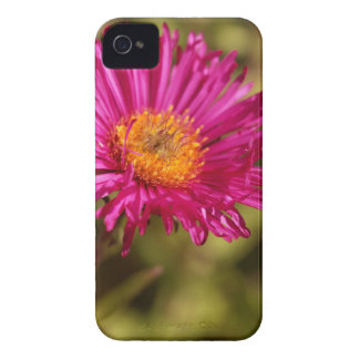 New England aster (Symphyotrichum novae angliae) iPhone 4 Case-Mate Cases
