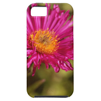 New England aster (Symphyotrichum novae angliae) iPhone 5 Case