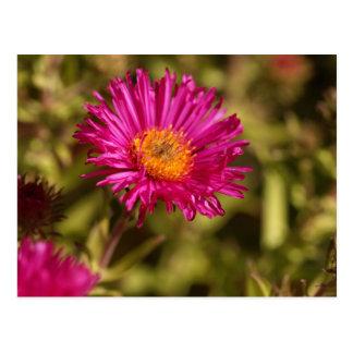 New England aster (Symphyotrichum novae angliae) Postcard
