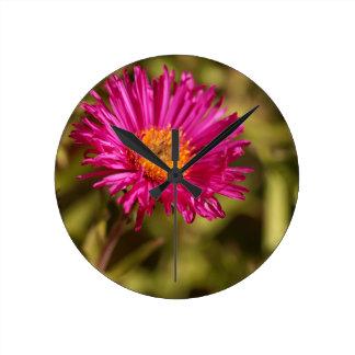 New England aster (Symphyotrichum novae angliae) Round Clock