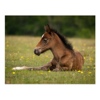 New forest foal postcard