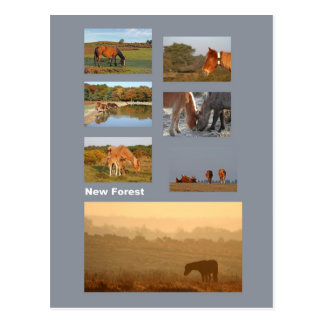 New Forest ponies postcard