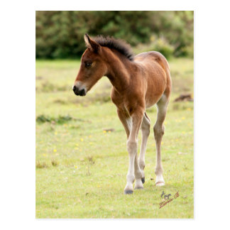 New Forest Pony Foal Postcard