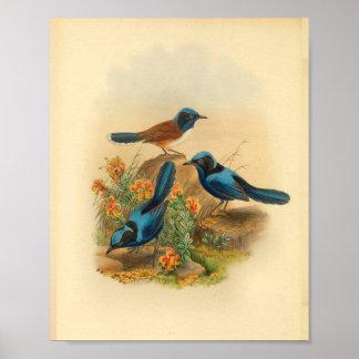 New Guinea Todopsis Wren Blue Bird Vintage Print