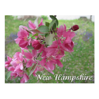 New Hampshire crab apple tree blossoms Post Card