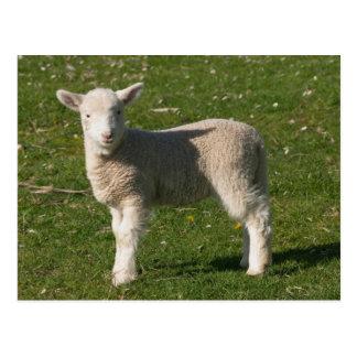 New Lamb, near Dunedin, South Island, New Postcard