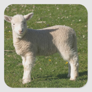 New Lamb, near Dunedin, South Island, New Square Sticker