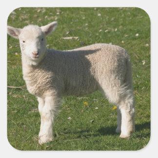 New Lamb, near Dunedin, South Island, New Square Sticker