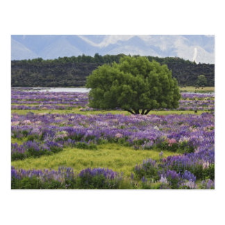New Zealand, South Island. Blooming lupine and Postcard