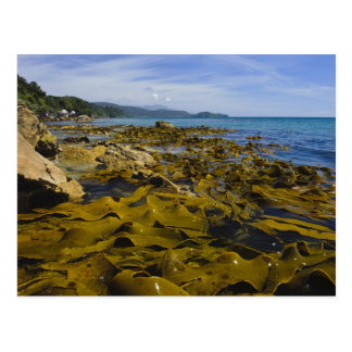 New Zealand, Southland, Stewart Island. Kelp Postcard