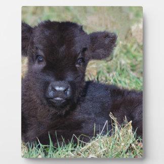 Newborn black scottish highlander calf lying display plaques