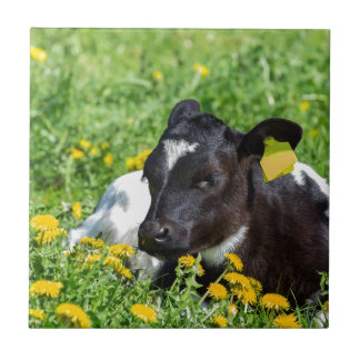 Newborn calf lies in meadow with yellow dandelions small square tile