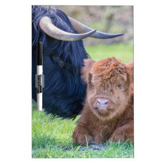 Newborn scottish highlander calf with mother cow dry erase board