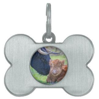Newborn scottish highlander calf with mother cow pet tag