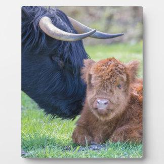 Newborn scottish highlander calf with mother cow plaque