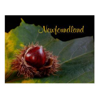 Newfoundland, Autumn Leaf With Nut Postcard