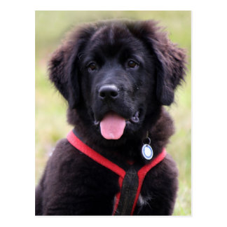Newfoundland dog puppy cute beautiful photo postcard
