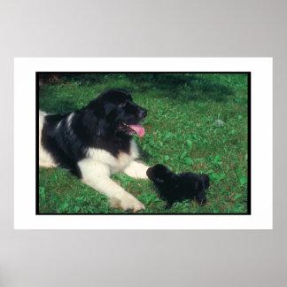 Newfoundland Landseer & Puppy Poster