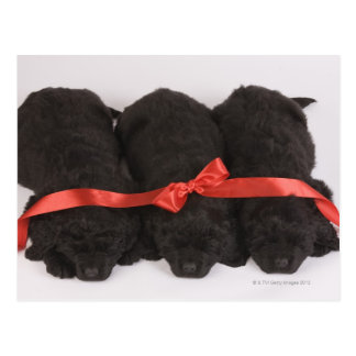 Newfoundland Puppies sleeping (Canis Postcard