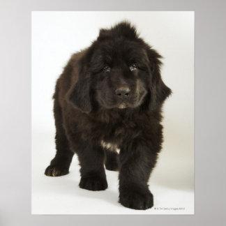 Newfoundland puppy, studio shot poster