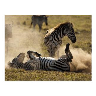 Ngorongoro Crater, Tanzania, Common Zebra, Equus Postcard