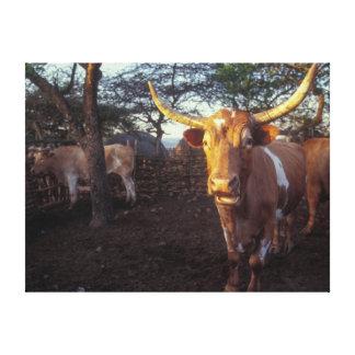 Nguni Cattle In Enclosure, Shakaland, Eshowe Gallery Wrapped Canvas