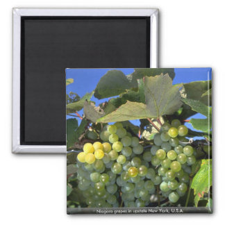 Niagara grapes in upstate New York, U.S.A. Magnet